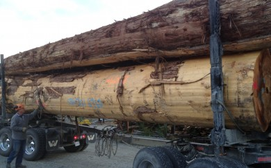 Old Growth Cedar Log