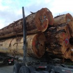 Old Growth Cedar Log on truck